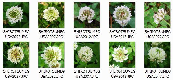 SHIROTSUMEGUSA_TEST